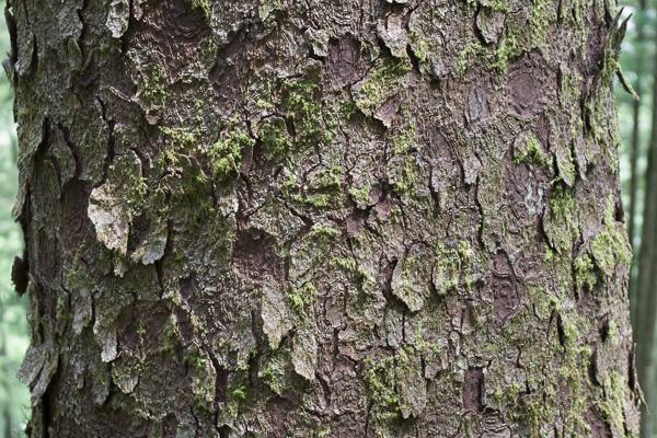 Sitka Spruce bark